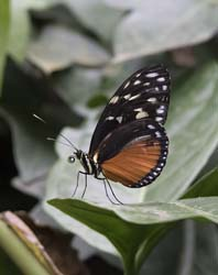Tiger_Longwing_Butterfly